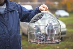 Pombo de portador Pássaro bonito Fundo natural Imagens de Stock