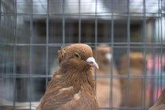 Pombo de portador Pássaro bonito Fundo natural Imagem de Stock