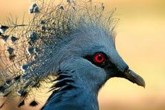 Pombo de Victoria da coroa Imagem de Stock