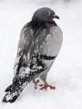 Pombo do inverno Foto de Stock Royalty Free