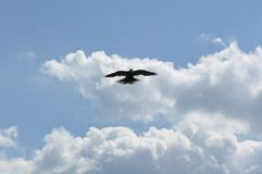 Pombo do voo e céu azul imagens de stock