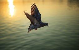 Pombo do voo no lago no por do sol: Close up imagens de stock royalty free