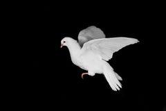 Pombo e mão brancos imagem de stock royalty free