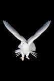 Pombo e mão brancos fotografia de stock royalty free