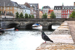 Pombo em Copenhaga imagem de stock royalty free