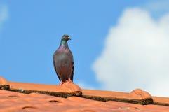 Pombo em um telhado Foto de Stock Royalty Free