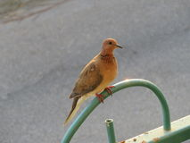 Pombo em uma cerca Foto de Stock
