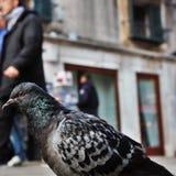 Pombo em Veneza fotografia de stock