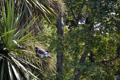 Pombo Kerera na árvore de couve fotografia de stock