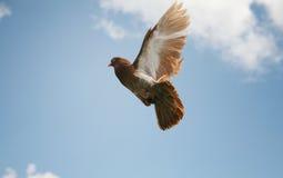 Pombo marrom bonito no vôo Fotos de Stock Royalty Free