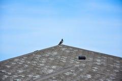Pombo pombo na constru??o do telhado foto de stock