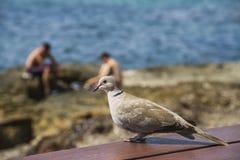 Pombo na costa Foto de Stock