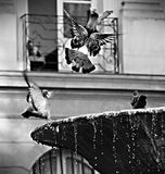 Pombo na frente de uma fonte Imagem de Stock Royalty Free