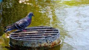 Pombo na lagoa imagem de stock royalty free
