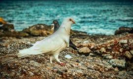 Pombo na praia Foto de Stock