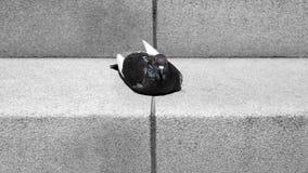 Pombo nas escadas Fotos de Stock Royalty Free