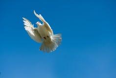 Pombo no céu azul imagem de stock royalty free