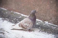Pombo no inverno Fotografia de Stock Royalty Free