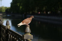 Pombo no parque fotos de stock