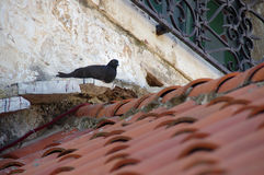 Pombo no telhado Imagem de Stock