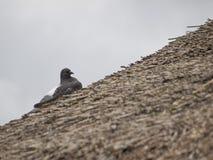 Pombo no telhado da palha Fotografia de Stock Royalty Free