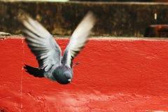 Pombo no vôo Imagens de Stock