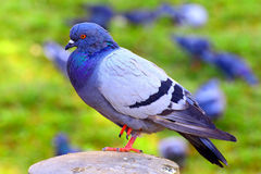 Pombo ou pomba asiática Fotos de Stock