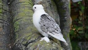 Pombo ou pomba branca conhecido como o pombo oriental do folho uma raça extravagante do pombo doméstico para a exibição e a criaç video estoque