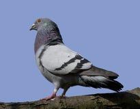 Pombo ou pomba de rocha Foto de Stock