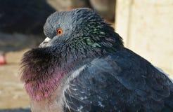 Pombo ou pomba e beleza, em Veneza imagem de stock