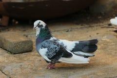 Pombo preto e branco que senta-se na terra imagem de stock