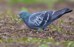Pombo que alimenta no campo liso desencapado da mola adiantada com uma semente em seu bico aberto fotografia de stock