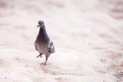 Pombo que anda na areia fotografia de stock royalty free