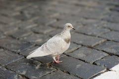 Pombo que anda na estrada da pedra de pavimentação Fotos de Stock
