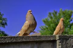 Pombo que empoleira-se em um ramo na frente de um fundo colorido fotografia de stock