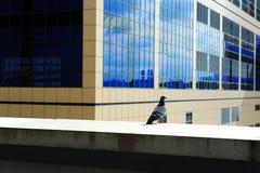 Pombo que está na construção da cidade fotos de stock royalty free