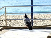 Pombo que olha o mar fotografia de stock royalty free