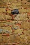 Pombo que senta-se em um furo em uma parede Imagem de Stock Royalty Free