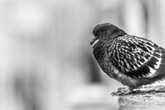 Pombo que senta-se em uma borda do ` s da construção fotografia de stock