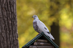 Pombo que senta-se em uma casa de madeira Fotografia de Stock