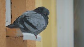 Pombo que senta-se na soleira no tempo frio do inverno no fundo dos flocos de neve video estoque