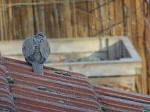 Pombo que senta-se no telhado imagens de stock
