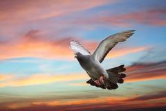Pombo que voa sobre o céu bonito do por do sol Fotografia de Stock