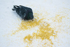 Pombo selvagem na rua Fotos de Stock