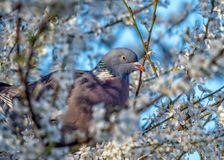 Pombo torcaz comum - polumbus do Columba empoleirado em uma árvore da ameixoeira-brava foto de stock royalty free
