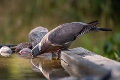 Pombo torcaz comum que bebe no waterhole Imagem de Stock