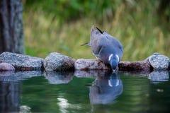Pombo torcaz comum que bebe no waterhole da parte dianteira Fotografia de Stock