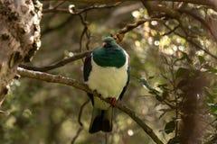 Pombo torcaz de Kereru Nova Zelândia em Forest Afternoon Sunlight imagem de stock