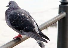 Pombo, um pombo que descansa em uma barreira foto de stock royalty free
