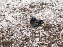 Pombo urbano que encontra-se no gramado nevado imagem de stock royalty free